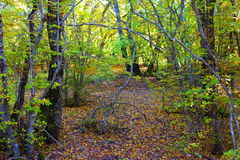 Photo primeval forest Royalty Free Stock Photo