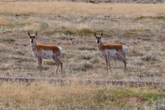 Photo of pronghorn antelope Royalty Free Stock Photos