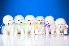 Photo of puppies Samoyed breed Royalty Free Stock Image