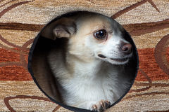 Photo of puppy chihuahua in the kennel Stock Image
