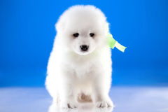 Photo of puppy Samoyed breed Royalty Free Stock Photography