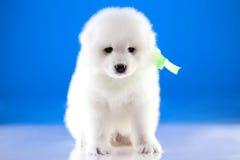 Photo of puppy Samoyed breed Royalty Free Stock Photography