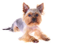 Photo Puppy Yorkshire Terrier. Portrait. Isolated Stock Photos