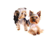 Photo Puppy Yorkshire Terrier. Portrait. Isolated Royalty Free Stock Photography