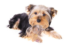 Photo Puppy Yorkshire Terrier. Portrait. Isolated Royalty Free Stock Image