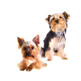 Photo Puppy Yorkshire Terrier. Portrait. Isolated Royalty Free Stock Images