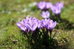Photo of purple crocuses Stock Photography