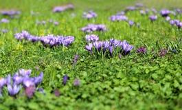Photo of purple crocuses Royalty Free Stock Image