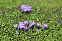 Photo of purple crocuses Royalty Free Stock Photos