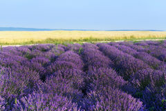 Photo of purple flowers in a lavender field royalty free stock photos