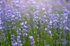 Photo of purple fresh Lavender flowers in closeup stock photos