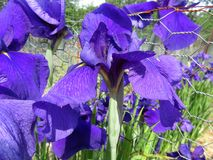 Purple Iris Flowers in Full Bloom royalty free stock photography