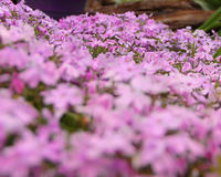 Photo of purple phlox covering the ground.  Focus is on the back flowers. Purple phlox that has spread and covers the ground.  Focus is on the back flowers Stock Image