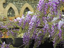 Beautiful delicate wisteria flowers petals spring summer plants. Photo of purple wisteria delicate flowers plants growing in a kent park in full bloom may 2019 royalty free stock images
