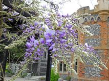 Beautiful delicate wisteria flowers petals spring summer plants. Photo of purple wisteria delicate flowers plants growing in a kent park in full bloom may 2019 royalty free stock photos