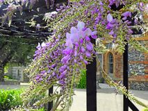 Beautiful delicate wisteria flowers petals spring summer plants. Photo of purple wisteria delicate flowers plants growing in a kent park in full bloom may 2019 royalty free stock photography