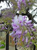 Beautiful delicate wisteria flowers petals spring summer plants. Photo of purple wisteria delicate flowers plants growing in a kent park in full bloom may 2019 royalty free stock photo
