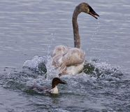 photo of a puzzled swan under attack of a  crazy duck Stock Photo