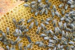 Photo of queen bee in honeycombs. Closeup photo of queen bee in honeycombs Royalty Free Stock Photo