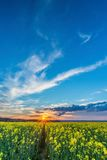 Photo of rapeseed field with sunset and dramatic sky. Vertical springtime landscape photo. Rapeseed field with yellow blooms and path in center. Sunset with Royalty Free Stock Photography
