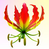 Photo-realistic Gloriosa Flower Royalty Free Stock Photos