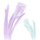 Photo realistic illustration of a hyacinth in two color schemes Stock Images