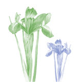 Photo realistic illustration of an iris in two color schemes Stock Photos