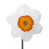 Jonquil flower Royalty Free Stock Image