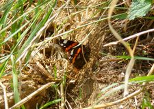 The red admiral butterfly sitting in the grass. Photo of the red admiral butterfly sitting in the grass stock photo