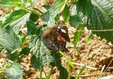 The red admiral butterfly sitting on the leaf. Photo of the red admiral butterfly sitting on the leaf royalty free stock images