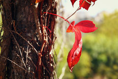 Photo of red autumn leaf on the old tree Royalty Free Stock Images