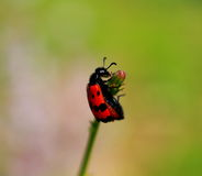 Photo of red beetle on a flower Stock Photos