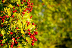 Photo of red berries. Photo of red berries in sunrise Royalty Free Stock Images