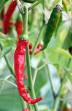 Photo of red chili pepper Stock Images