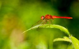 A red dragonfly on green grass royalty free stock images