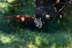 Photo of Red Panda Beside Brown Tree Stock Image