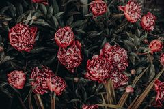 Photo of Red Peonies Painting Royalty Free Stock Images