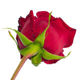 Photo of a red rose bottom view Stock Photo