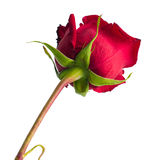 Photo of a red rose bottom view Stock Images