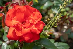 Photo of red rose on a bush in close up and soft focus stock image