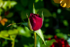 Photo of red rose on a green foliage background. In the garden Royalty Free Stock Photography