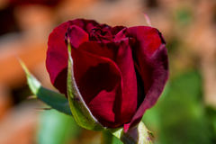 Photo of red rose on a green foliage background. In the garden Stock Photos