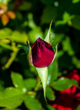 Photo of red rose on a green foliage background Stock Photography
