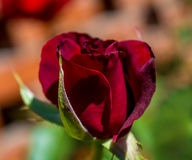 Photo of red rose on a green foliage background Royalty Free Stock Image
