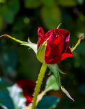 Photo of red rose on a green foliage background Royalty Free Stock Images