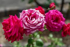 Trio of red while roses royalty free stock photography