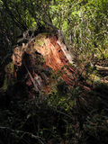 Photo of red - tree stump in the forest Stock Image