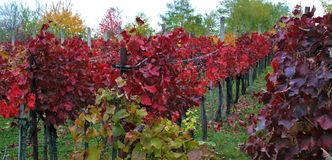 Red vineyards of Eger, Hungary stock image