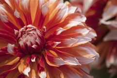 Photo of Red and White Flower Royalty Free Stock Images