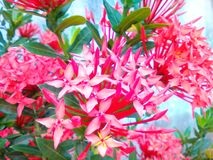 Flowers relaxation. Beautiful red white backgrounds Stock Photo
